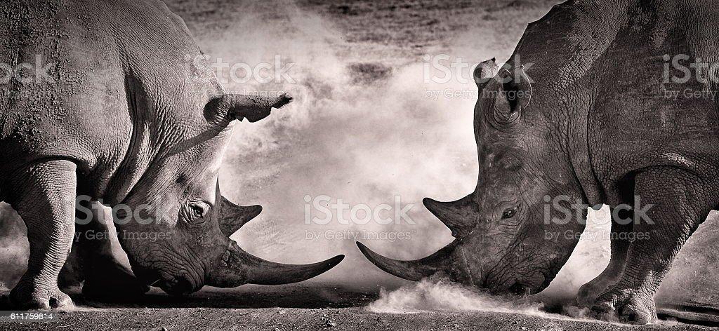 fight, a confrontation between two white rhino fight, a confrontation between two white rhino in the African savannah on the lake Nakuru, Kenya Africa Stock Photo