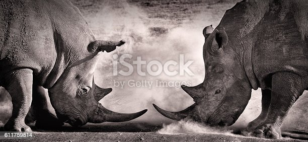 fight, a confrontation between two white rhino in the African savannah on the lake Nakuru, Kenya