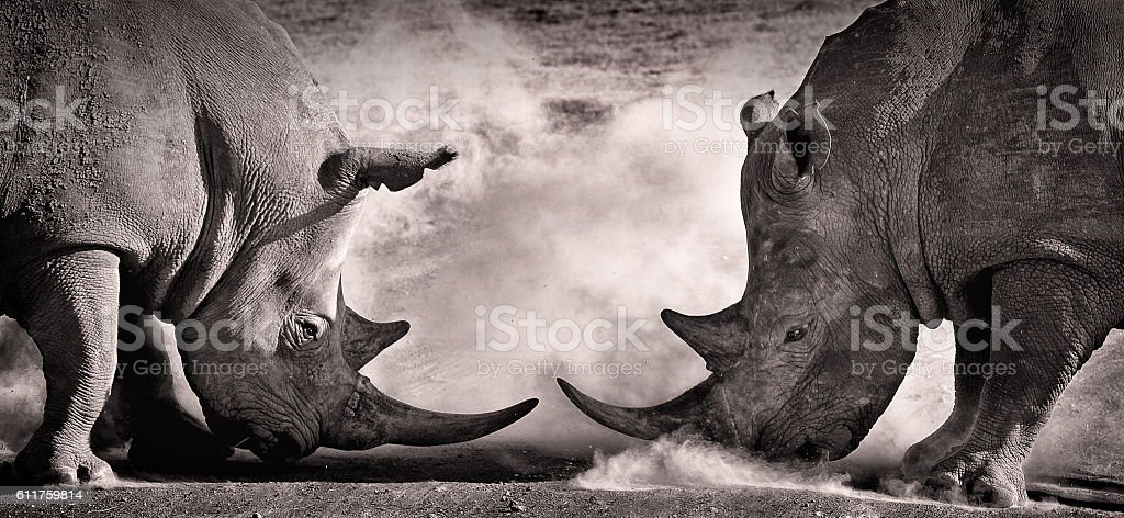 fight, a confrontation between two white rhino bildbanksfoto