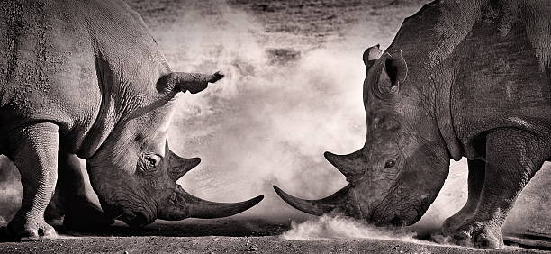 fight, a confrontation between two white rhino fight, a confrontation between two white rhino in the African savannah on the lake Nakuru, Kenya rhinoceros stock pictures, royalty-free photos & images