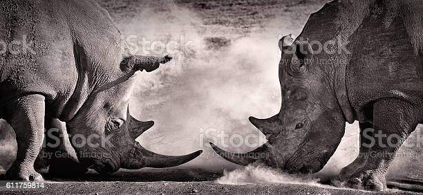 Fight A Confrontation Between Two White Rhino Stock Photo - Download Image Now