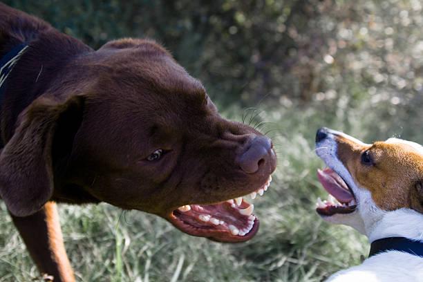 Lucha de perros - foto de stock