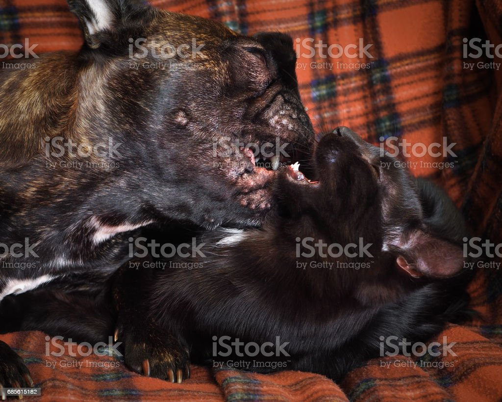 Fight dogs and cats. The animals are black. Claws teeth can be seen foto de stock royalty-free