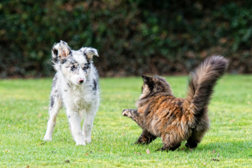 Tabby cat and a collie puppy having a bit of a disagreement