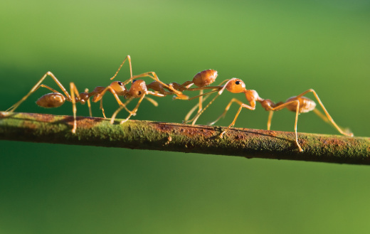 Fight of ants.