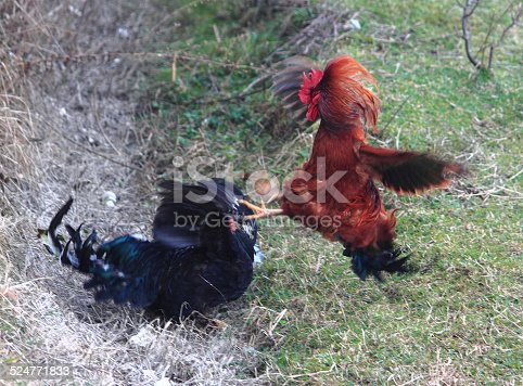 istock fight of cocks in Abkhazia 524771833