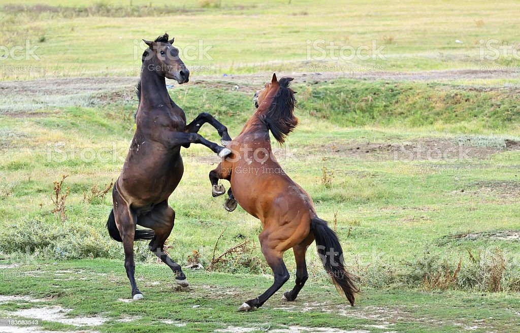fight of horses royalty-free stock photo