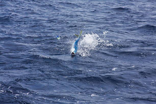 Fight of the Tuna stock photo