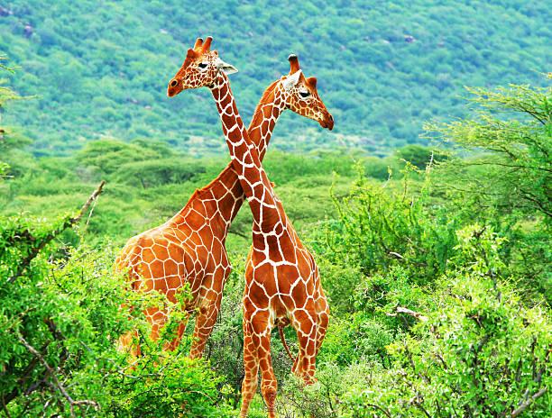 kampf der zwei giraffen - safari tiere stock-fotos und bilder