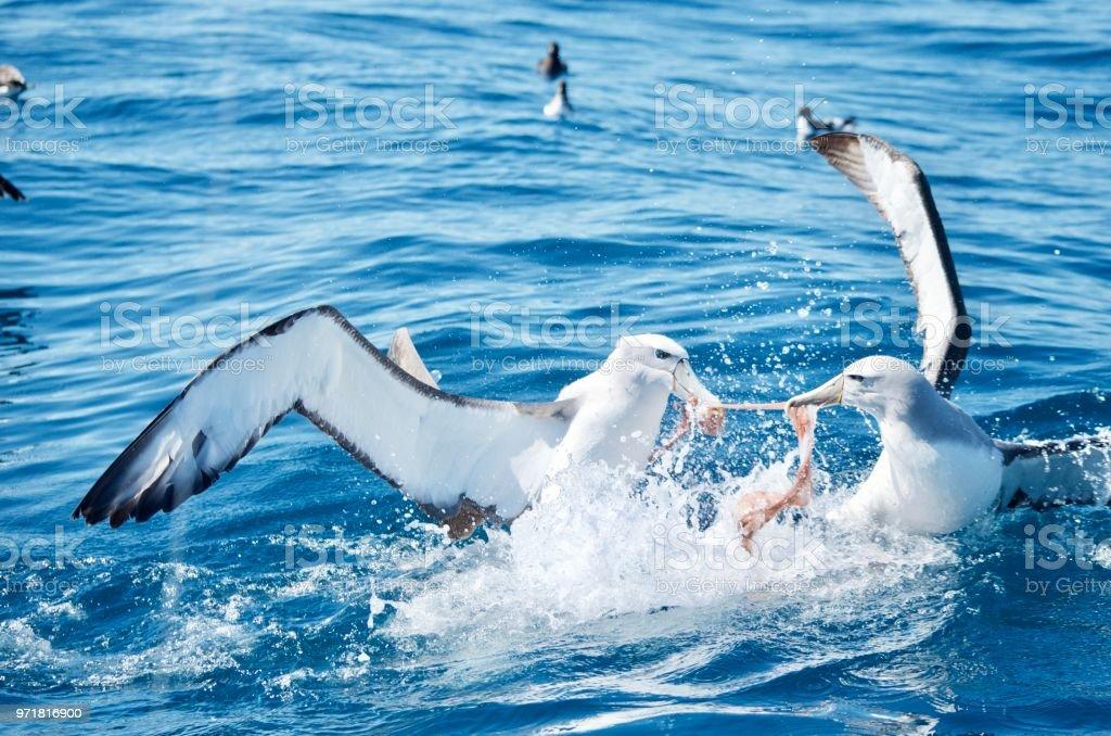 Bekämpfung von Albatros, Kaikoura, Neuseeland – Foto