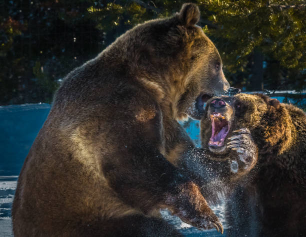Fighting Bears stock photo