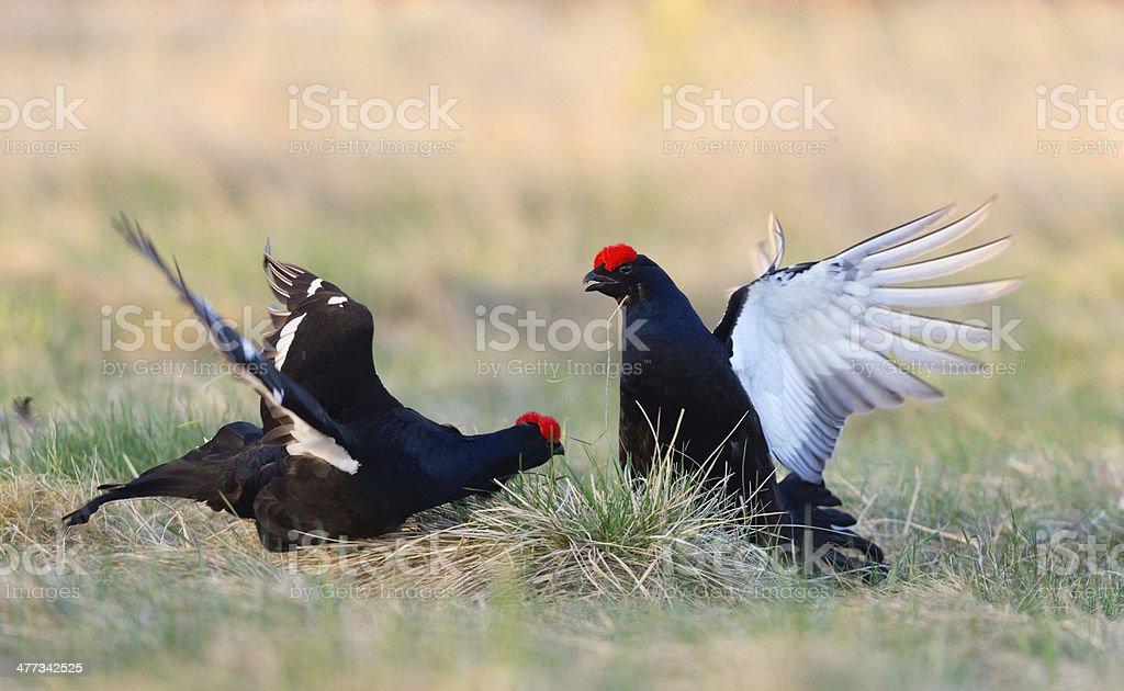Fighting  Black Grouses stock photo