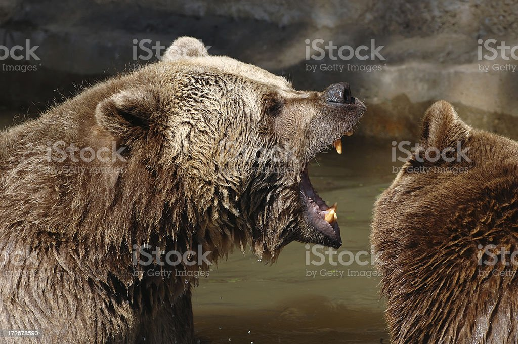Fighting brown bears stock photo