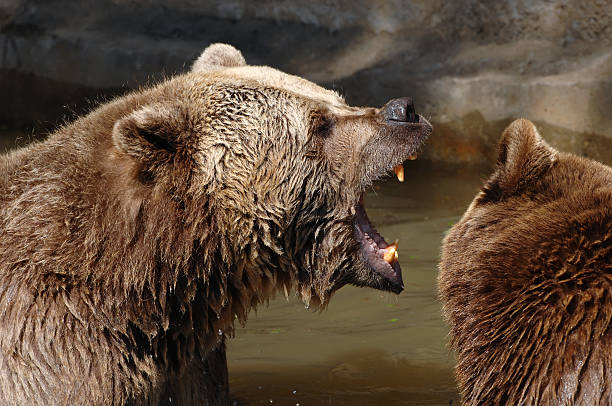 Fighting brown bears stock photo