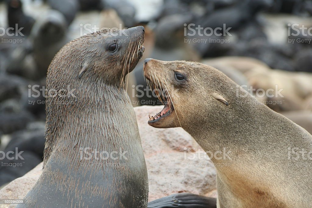 Fighting Brown Fur Seals at Cape Cross, Skeleton Coast, Namibia stock photo