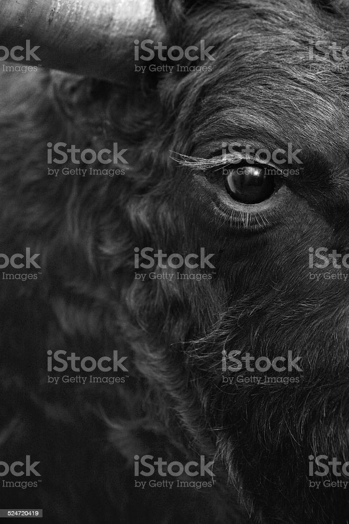 Fighting bull head detail in black and white stock photo