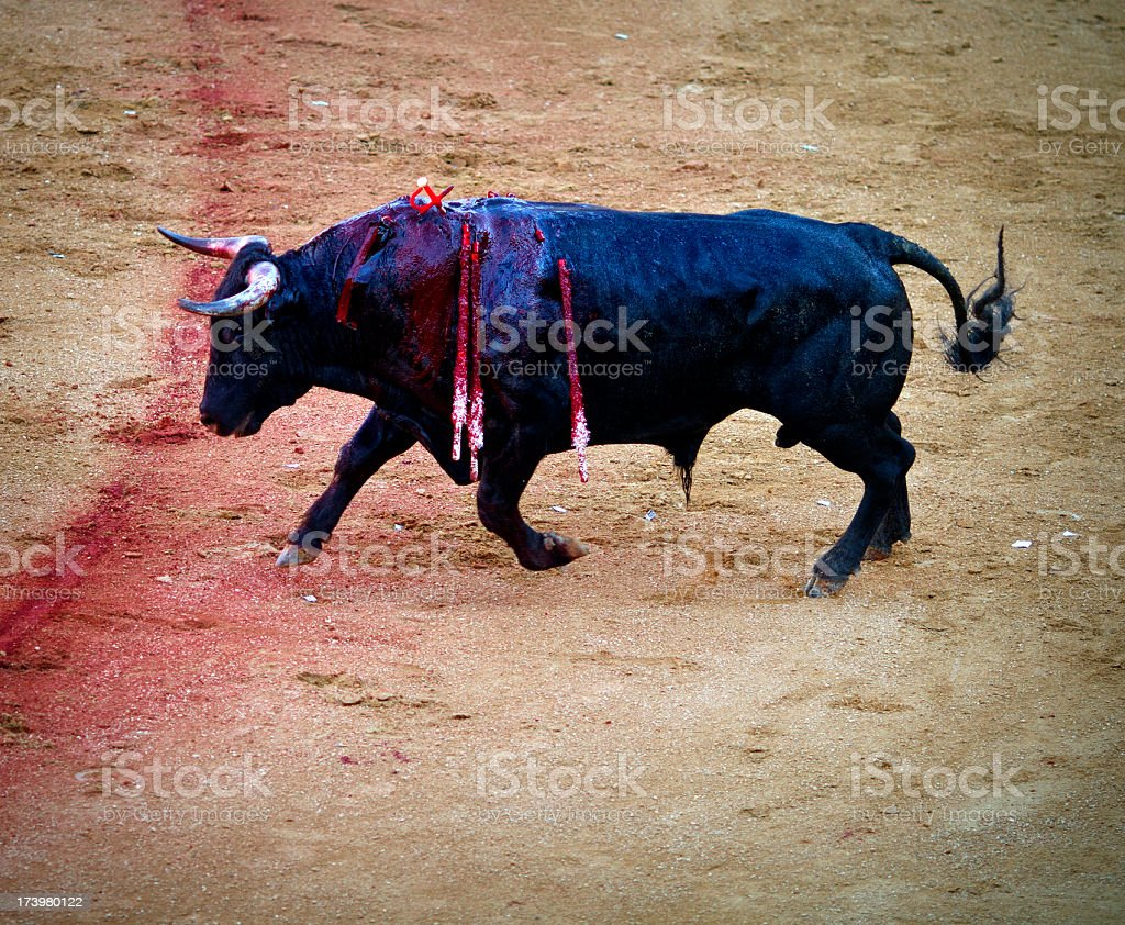 Fighting bull stock photo