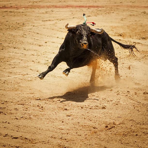 Fighting bull stock photo