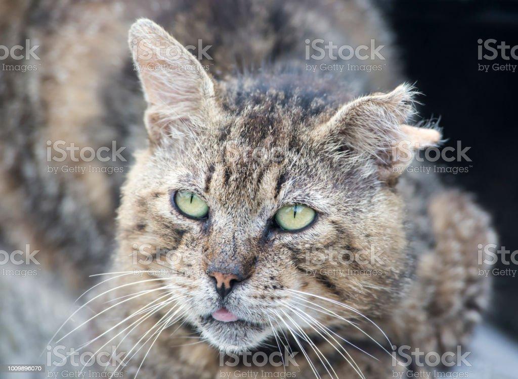 fighting cat, domestic cat