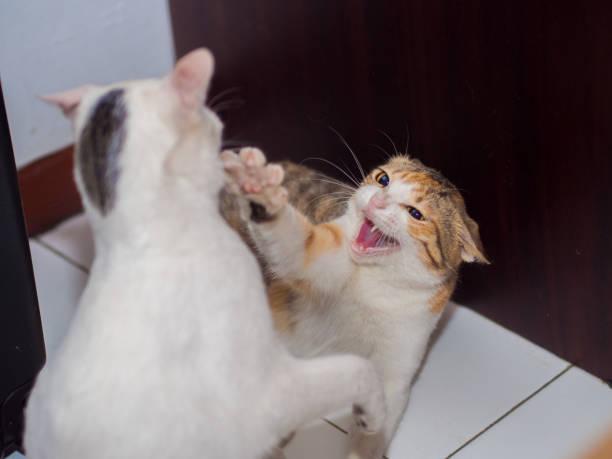 Luta de gato com Fang mostrado - foto de acervo