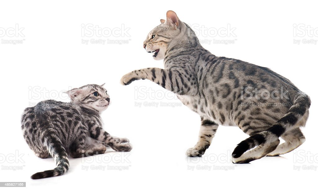 fighting cats stock photo