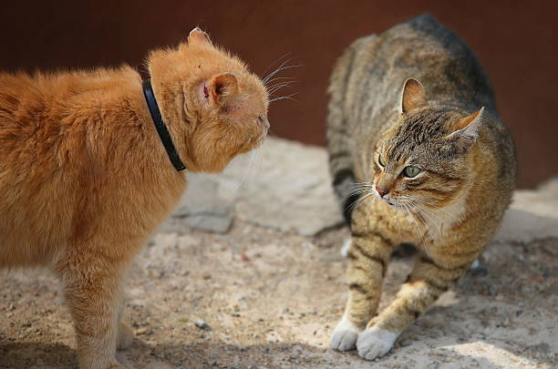 Fighting cats picture id494976286?b=1&k=6&m=494976286&s=612x612&w=0&h=27ftyq4lb8nqtlcxorzjxpj9p2phvzm9rpl tuu3fmc=