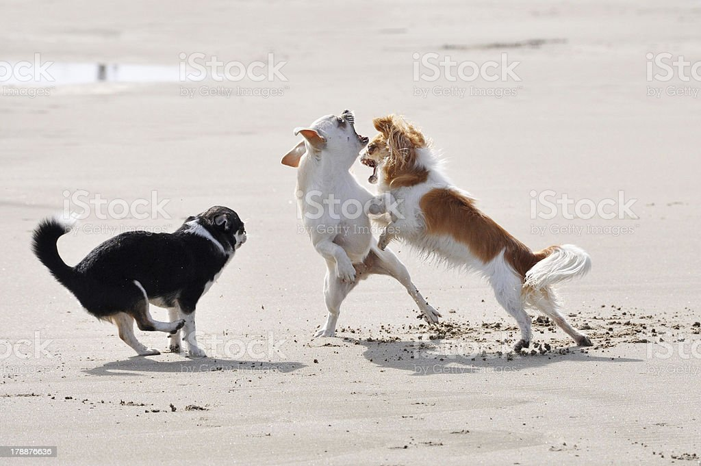 fighting chihuahuas on the beach royalty-free stock photo