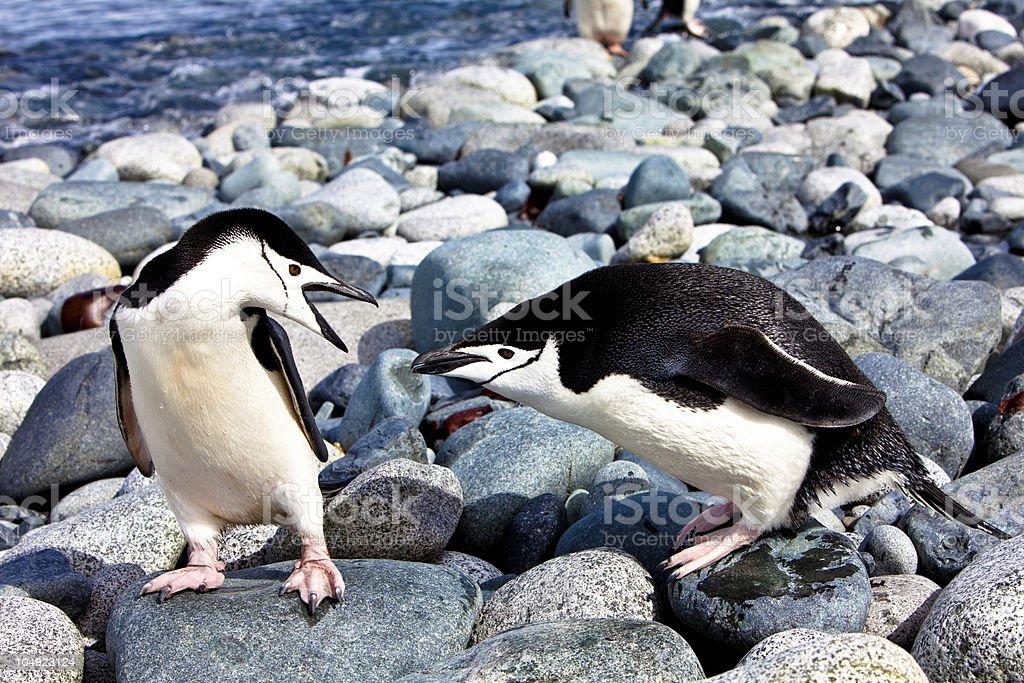 Fighting Chinstrap Penguins, Half Moon Island, Antarctica stock photo
