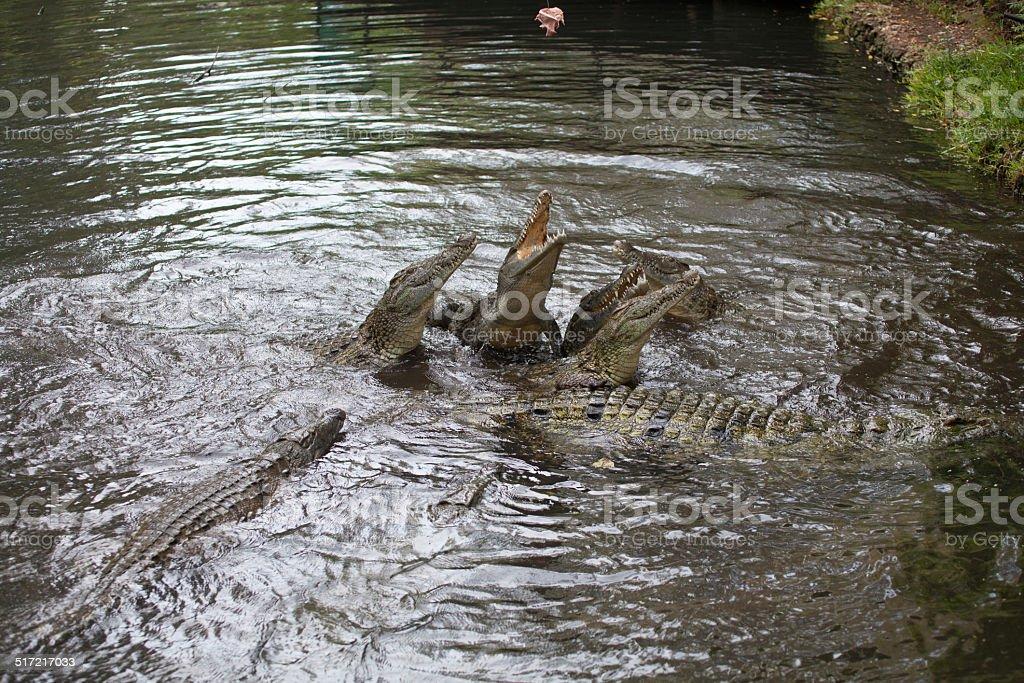 fighting crocodiles stock photo