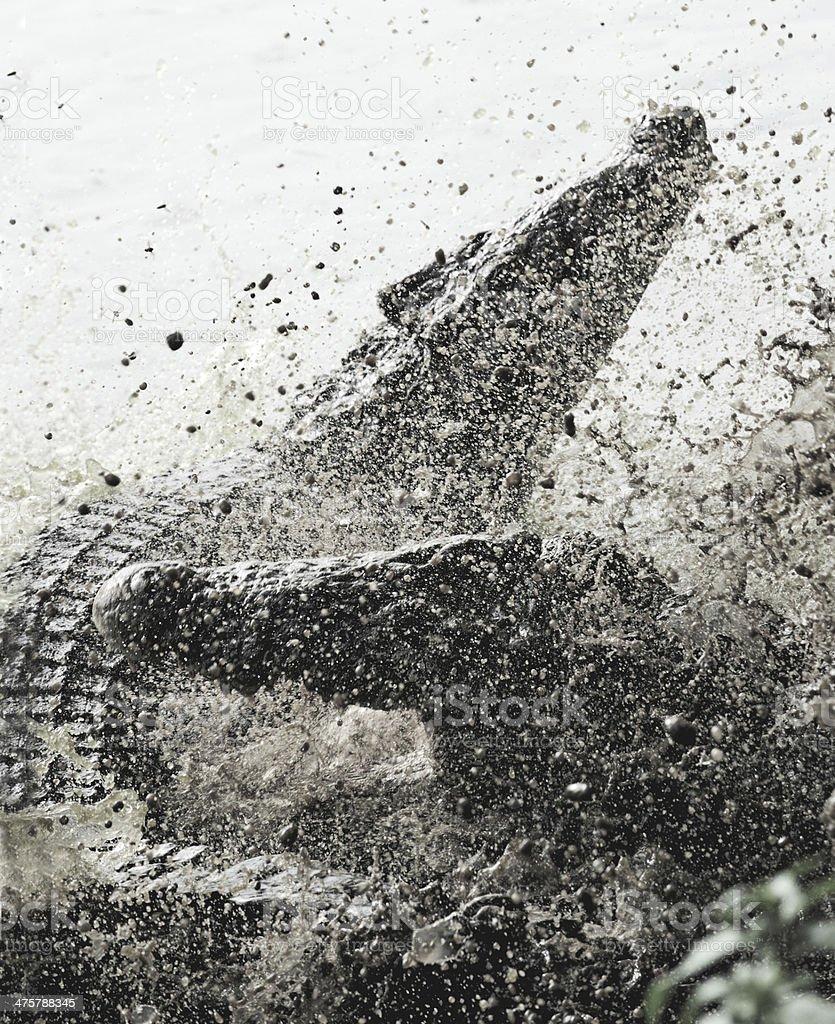 Fighting Cuban crocodile royalty-free stock photo