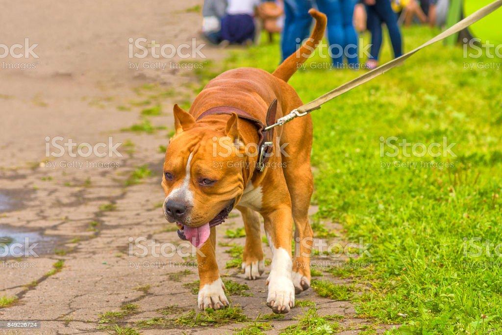 Gros plan de chien de combat - Photo