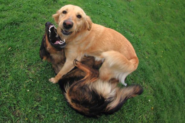 Fighting dogs picture id1074941666?b=1&k=6&m=1074941666&s=612x612&w=0&h=onswusfafmdotouybyziy4wzz89 byehyvenea tam0=