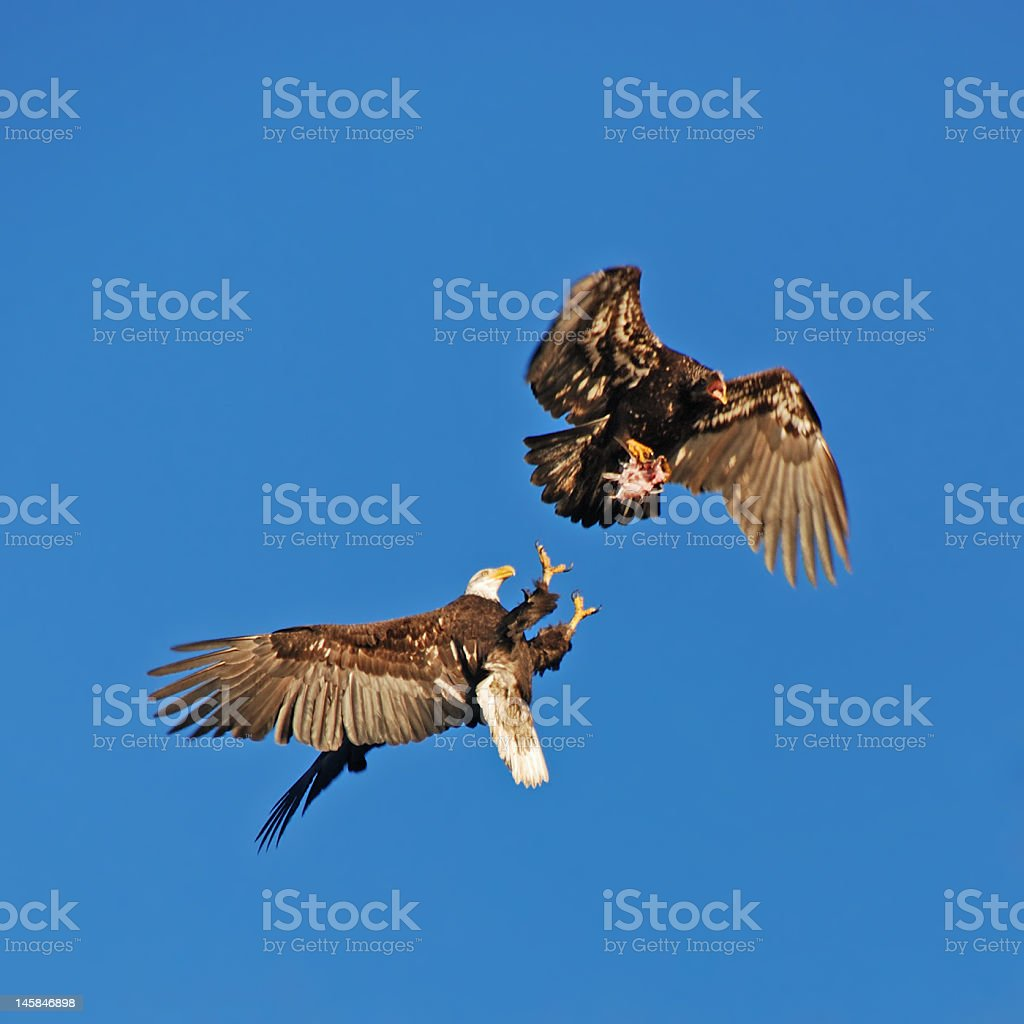 Fighting Eagles stock photo