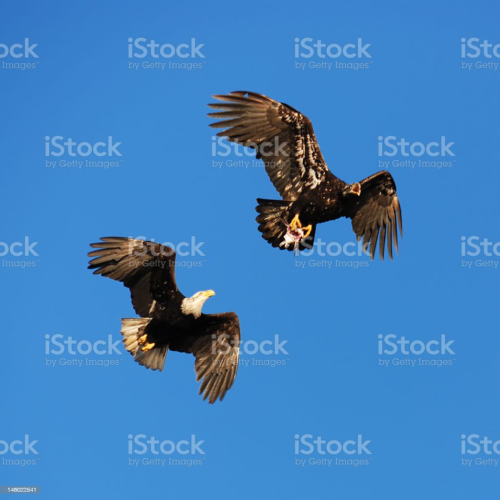 Fighting Eagles royalty-free stock photo