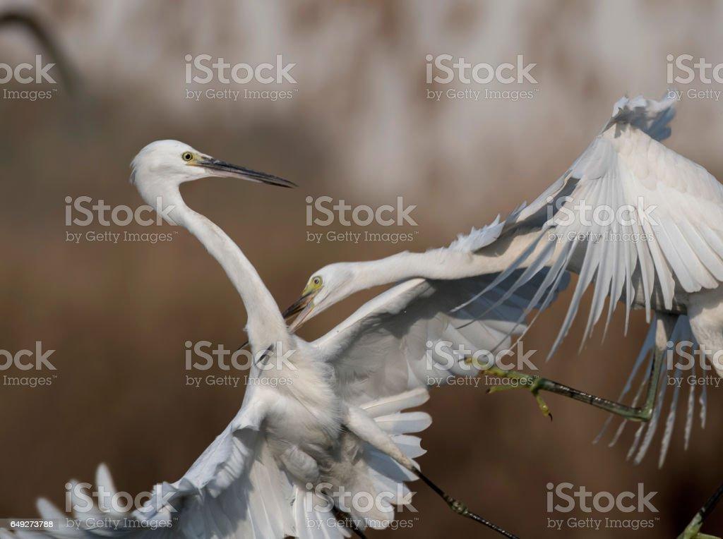 Fighting Egrets stock photo
