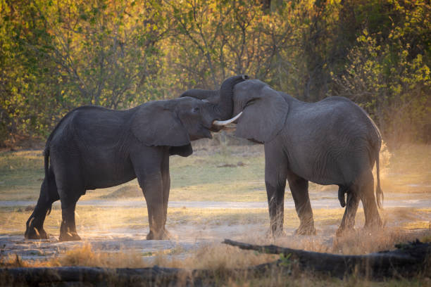 Fighting elephants at sunset, Okavango Delta, Botswana, AFrica stock photo