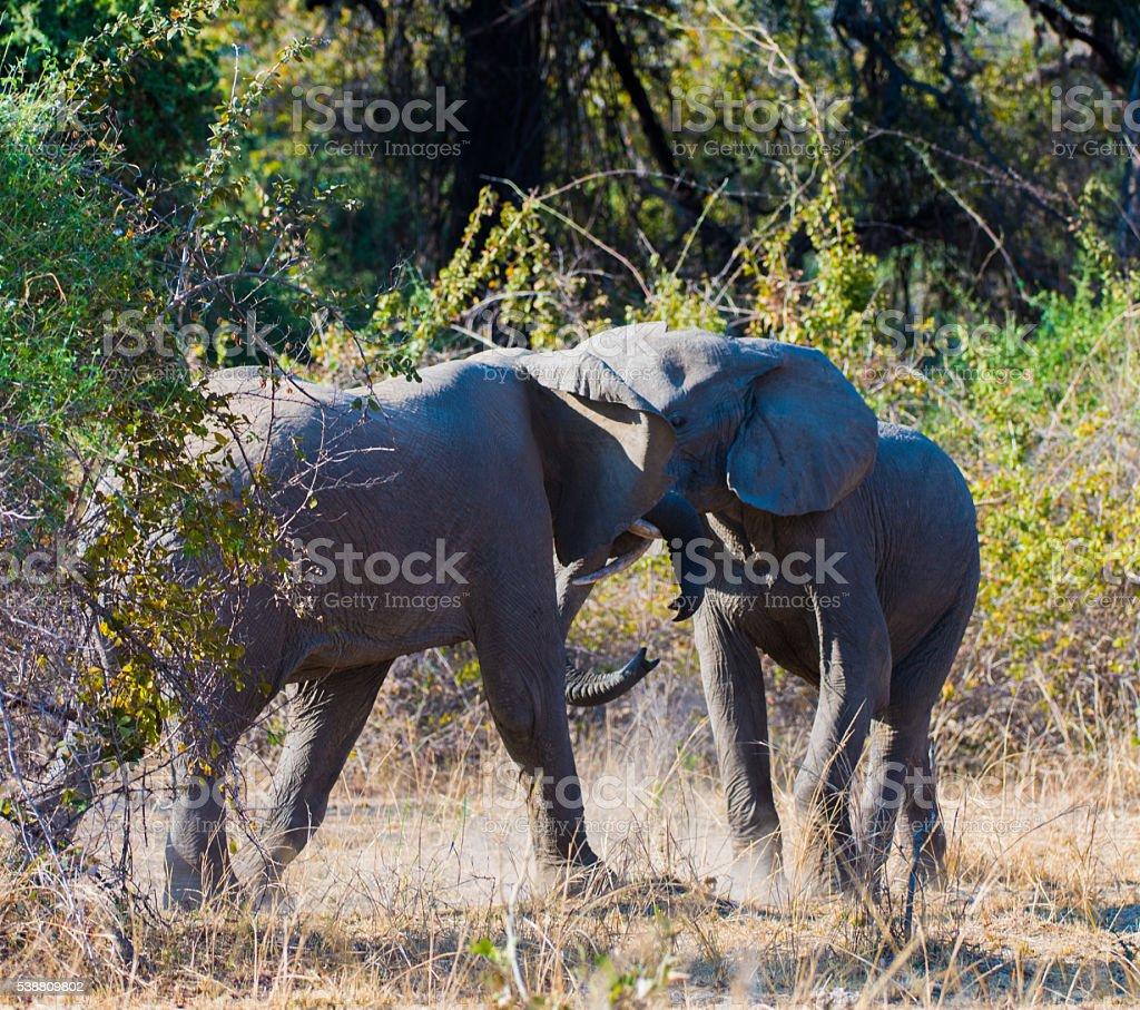 Fighting Elephants royalty-free stock photo