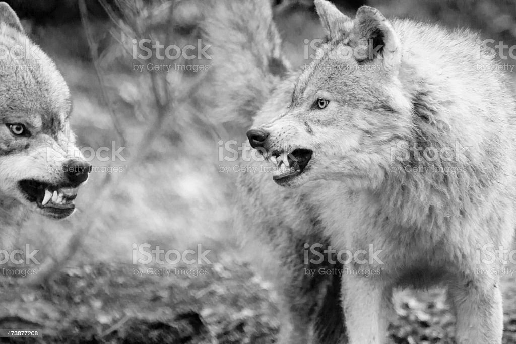 Fighting Eurasian Wolfs (Canis lupus lupus) stock photo
