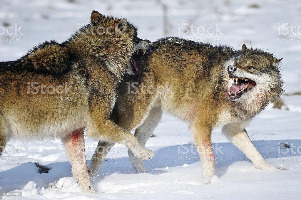 Fighting European Wolf stock photo