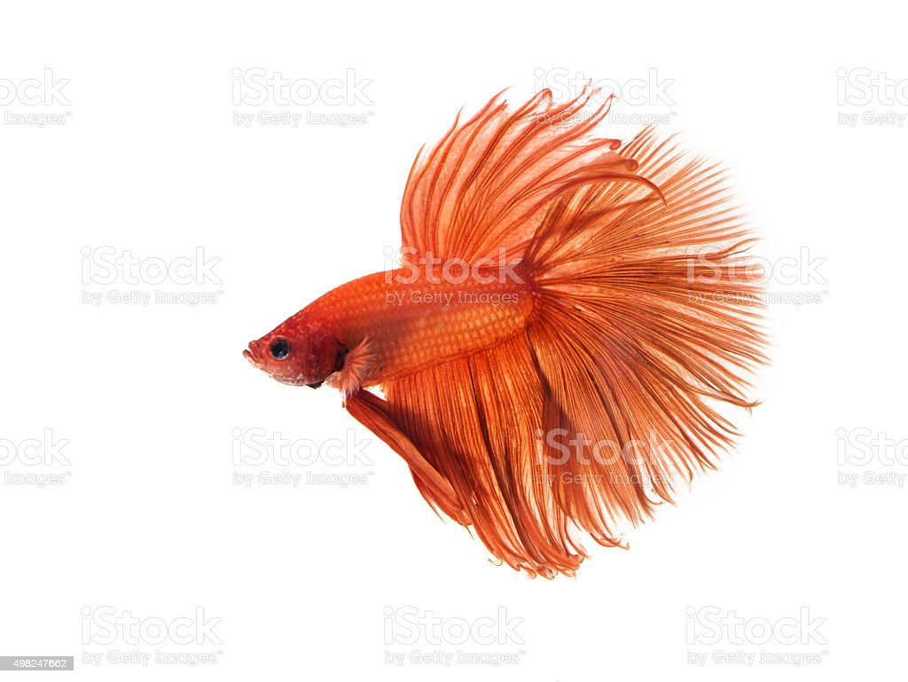fighting fish half moon stock photo