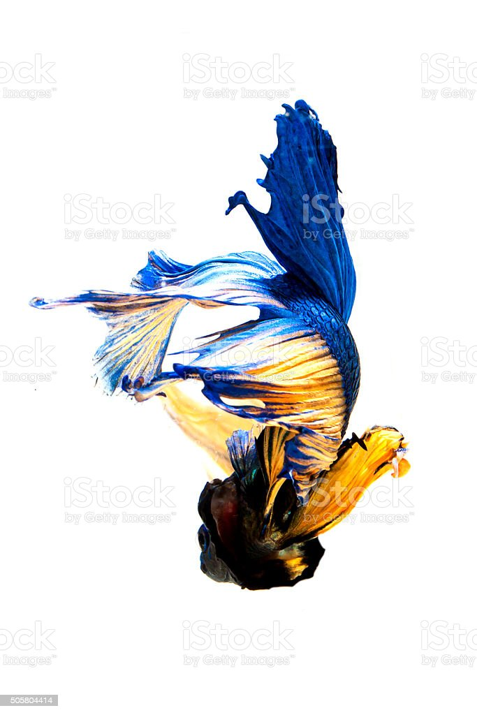 fighting fish isolated on white background. Betta fish stock photo