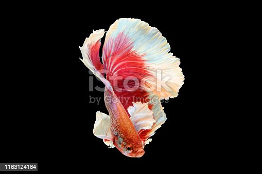 Betta fish, siamese fighting fish, betta splendens (Halfmoon betta )isolated on black background