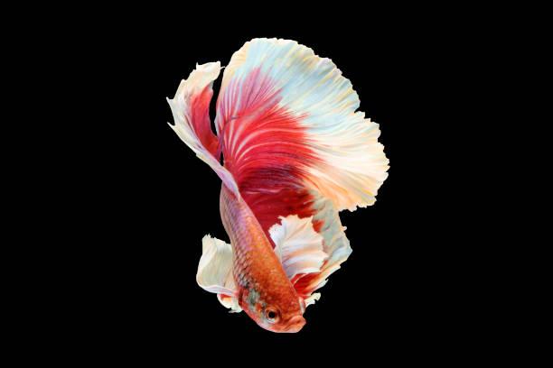 peces de lucha. - foto de stock