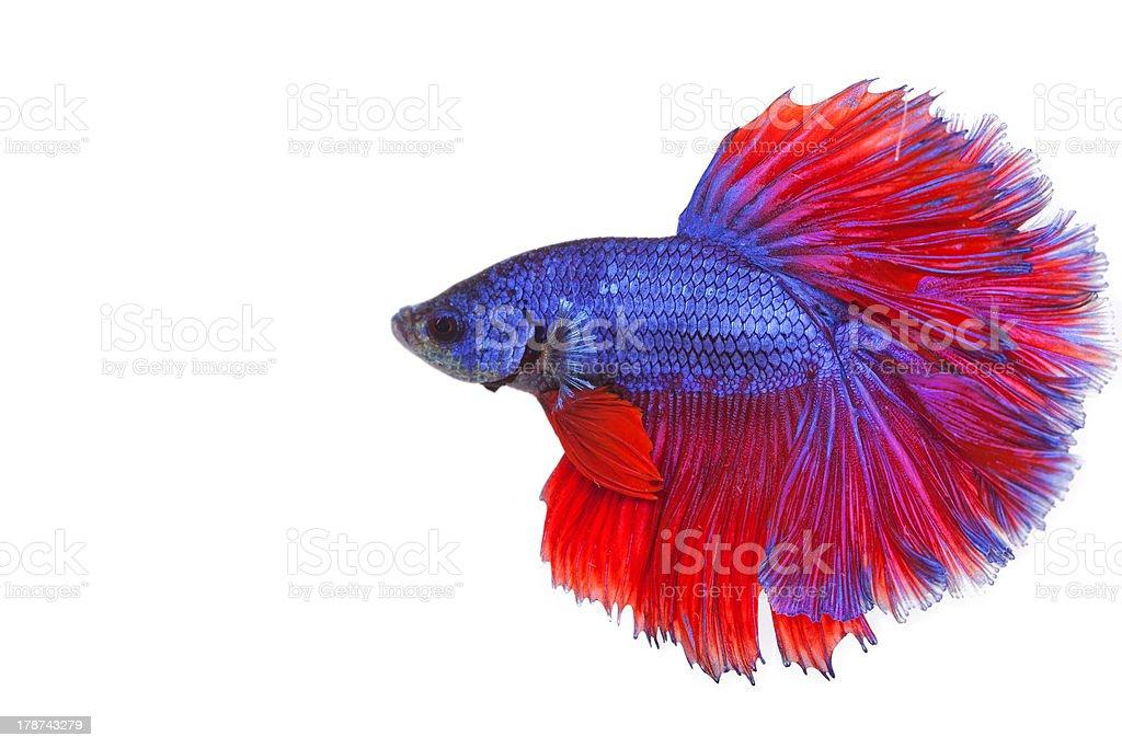 Fighting fish royalty-free stock photo