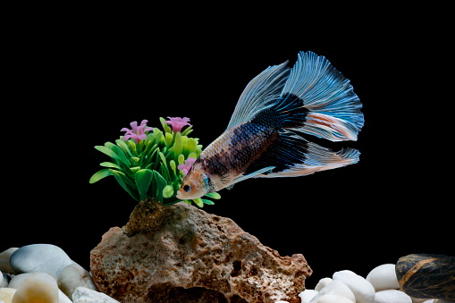 Fighting Fish Siamese Fish In A Fish Tank Decorated With Pebbles ...