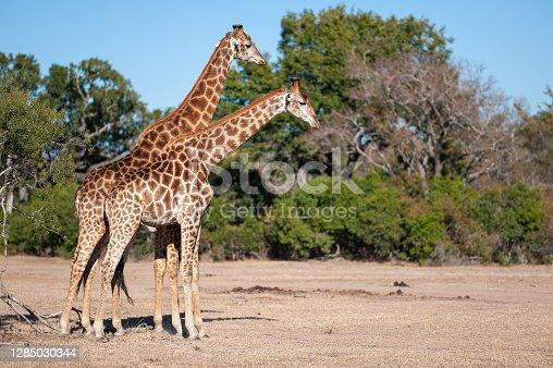 2 Male Giraffe seen fighting on a safari in South Africa