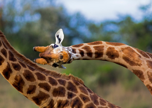 Unusual close up of a Rothschild giraffe in mid \