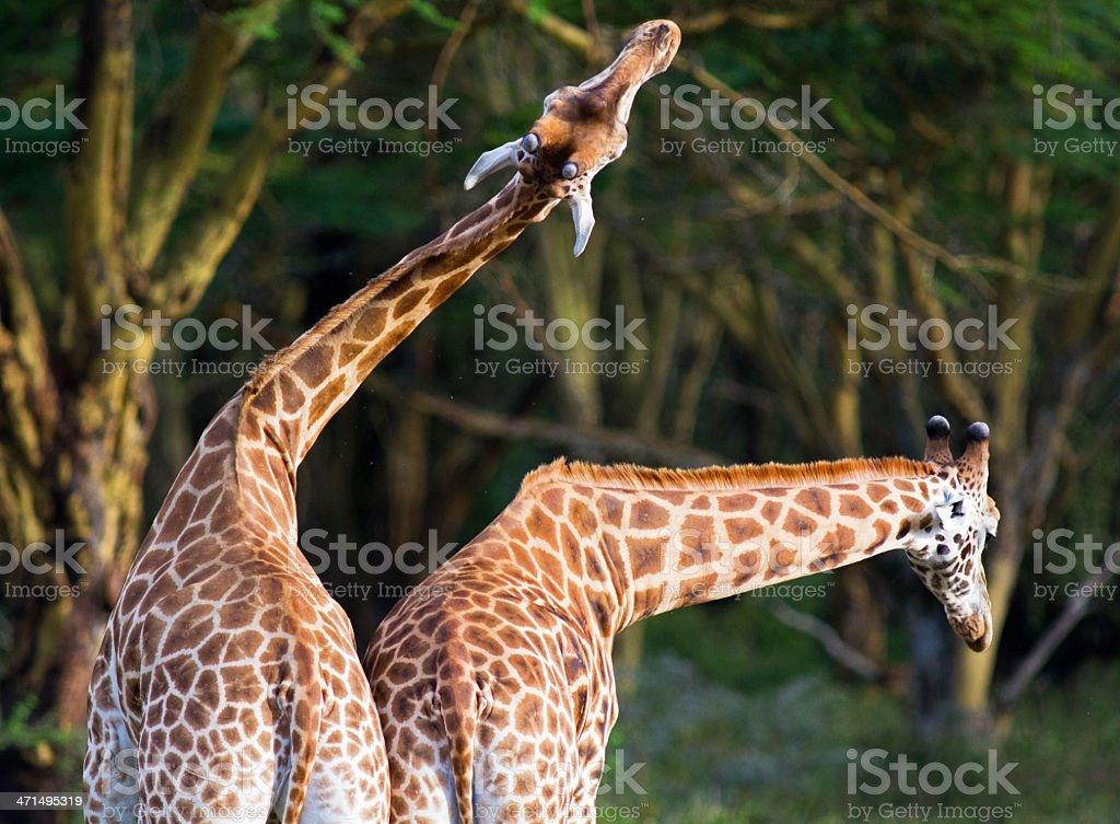 Fighting Giraffe royalty-free stock photo