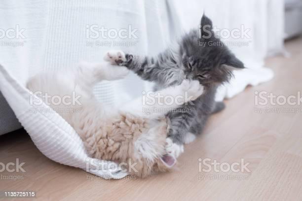 Fighting kittens picture id1135725115?b=1&k=6&m=1135725115&s=612x612&h=bdmcc0kls06y0ncsubif7sn f3g5h4kdqfjeqo2m4 o=