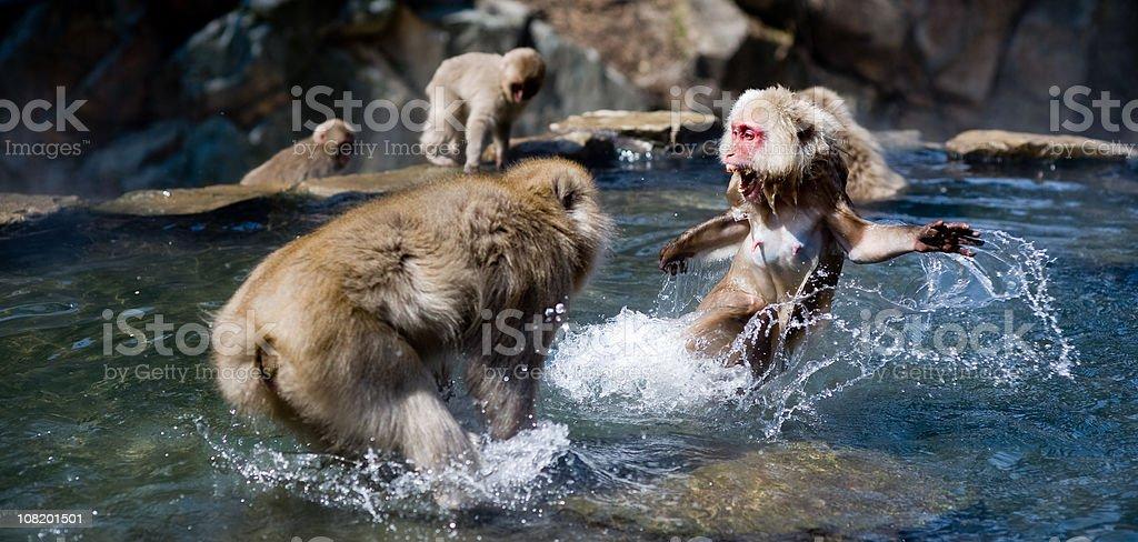 fighting monkeys royalty-free stock photo